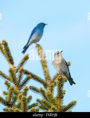 A breeding pair of Mountain Bluebirds (Sialia currucoides).  Selective focus on female. Beaverhill Lake, Canada. - Stock Photo