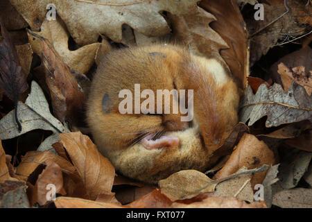 Hazel dormouse, Muscardinus avellanarius - Stock Photo