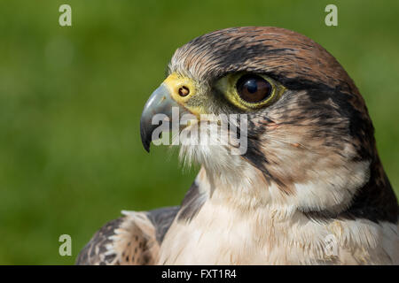 Lanner Falcon head shot - Stock Photo