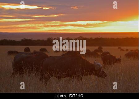Herd of African buffalo or Cape buffalo (Syncerus caffer) at sunrise, Masai Mara National Reserve, Kenya - Stock Photo