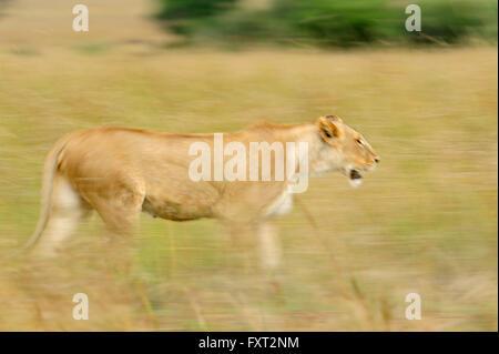 Charging Lioness (Panthera leo), Masai Mara National Reserve, Kenya - Stock Photo
