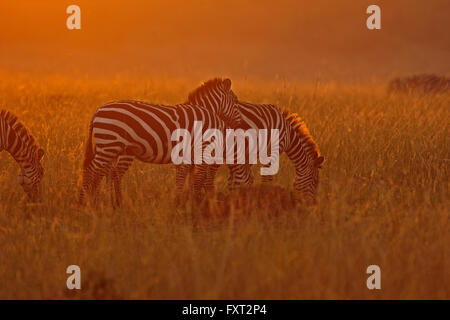 Plains or Common Zebras (Equus quagga) in the grass at sunset, Masai Mara National Reserve, Kenya - Stock Photo
