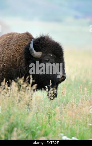 American Bison (Bison bison), Grand Teton National Park, Wyoming, USA - Stock Photo