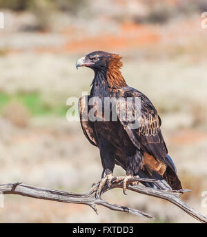 Wedge-tailed Eagle (Aquila audax) at Sturt National Park, far northwest New South Wales - Stock Photo