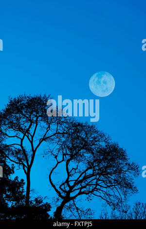 Dark trees silhouetted against a blue sky with a full moon - Stock Photo