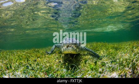 Underwater view of crocodile on reef, Chinchorro Banks, Mexico - Stock Photo