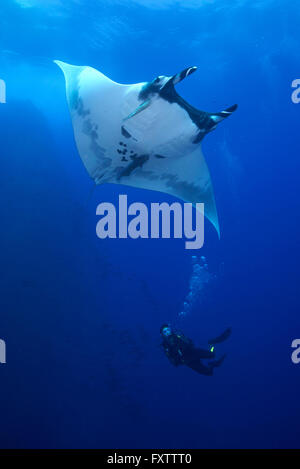 Scuba diver approaches Giant Manta (Manta Birostris) - Stock Photo