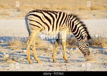 Burchell's Zebra foal (Equus burchellii) in Etosha National Park, Namibia