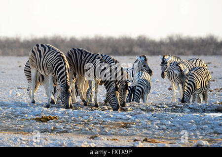Burchell's Zebras (Equus burchellii) drinking at Gemsbokvlakte Waterhole in Etosha National Park, Namibia - Stock Photo