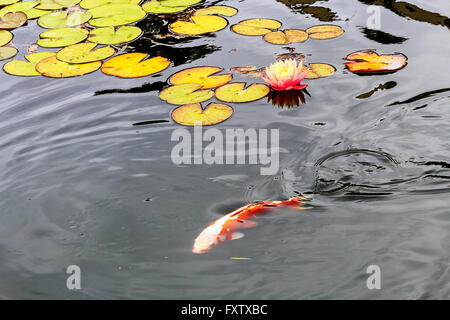 Blooming water lily in a pond - Stock Photo