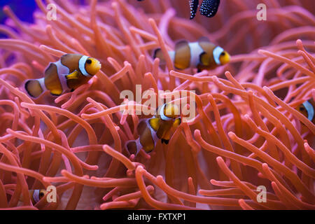 Ocellaris clownfish (Amphiprion ocellaris) swimming in the magnificent sea anemone (Heteractis magnifica) in the - Stock Photo
