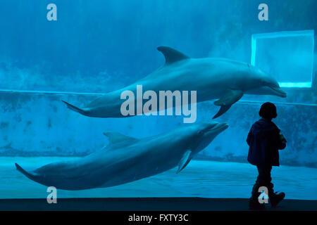 Young visitor observes as common bottlenose dolphins (Tursiops truncatus) swim in the Genoa Aquarium in Genoa, Liguria, - Stock Photo