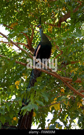 Proud Peacock sitting on a tree branch in the tropics - Stock Photo