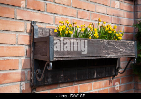 Daffodil flowers building decoration, yellow flowering plants growing decoration in wooden long flower box attached - Stock Photo