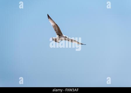 A juvenile Herring Gull in flight - Stock Photo