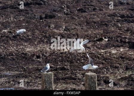 A juvenile Herring Gull harassing a Kittiwake - Stock Photo