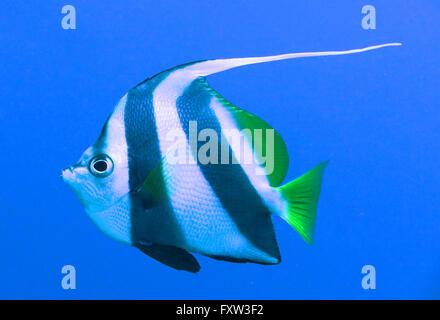 Schwarm-Wimpelfisch (Heniochus diphreutes), Brother Islands, Rotes Meer, Aegypten - Stock Photo