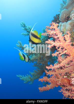 Rotmeer-Wimpelfisch (Heniochus intermedius), Korallen, Brother Islands, Rotes Meer, Aegypten - Stock Photo