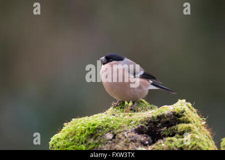 Bullfinch; Pyrrhula pyrrhula Single Female on Log Cornwall; UK - Stock Photo
