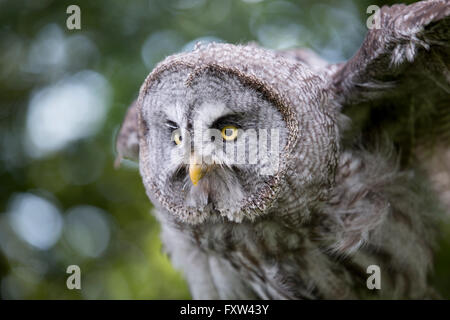 Great Grey Owl; Strix nebulosa Single; Face UK - Stock Photo