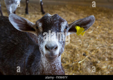 Goat portrait in a farm, looking at cam - Stock Photo
