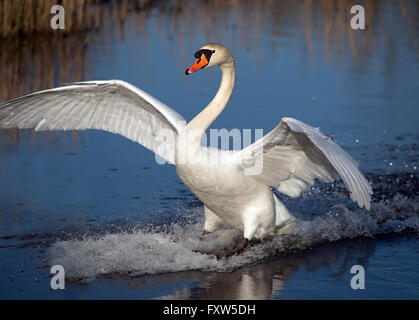 swan landing at the Welsh Wildlife Centre Cilgerran West Wales - Stock Photo