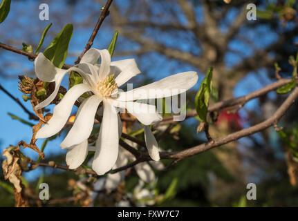 Close up of white Star Magnolia (Magnolia Stellata) blossom - Stock Photo
