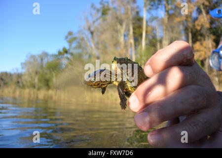 Baby snapping turtle in the Rainbow River, Florida. - Stock Photo