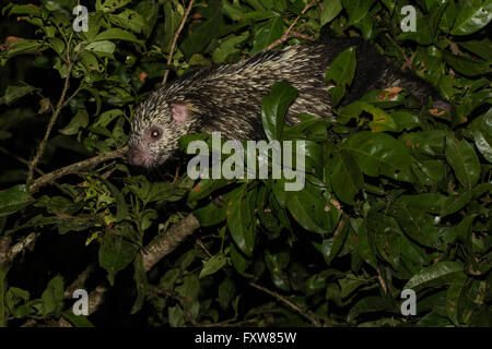 Mexican hairy porcupine climbing in a tree - Sphiggurus mexicanus - Stock Photo