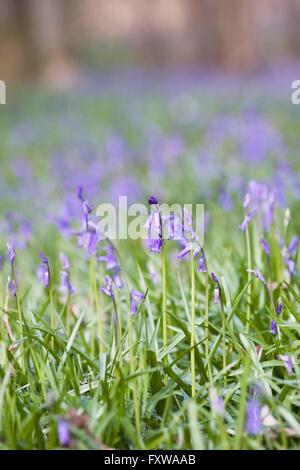 Hyacinthoides non scripta. English bluebell flowers. - Stock Photo