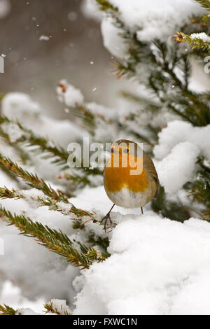 Robin Erithacus rubecula on branch in Hedgerow during snow flurry - Stock Photo