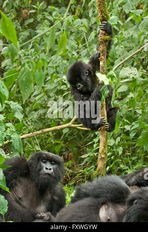 playful juvenile mountain gorilla climbig a tree in the Volcanoes National Park, Rwanda - Stock Photo