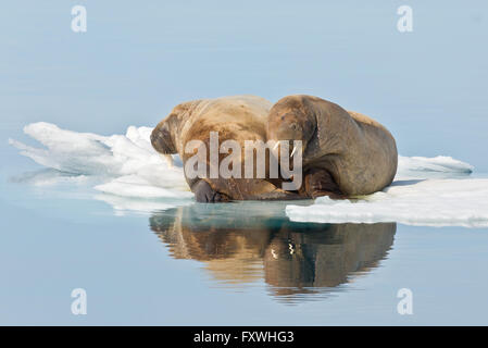 two walrus laying on an ice floe having a rest off the coast of Svalbard - Stock Photo
