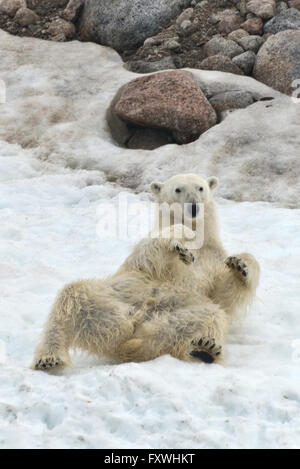 one polar bear rolling on its back in the snow at Chrmsideoya in Svalbard - Stock Photo