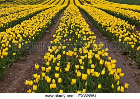 Near King's Lynn, UK, 18th April 2016. One magenta tulip stands out from the crowd among thousands of yellow ones - Stock Photo