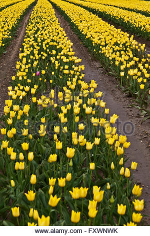 Near King's Lynn, UK, 18th April 2016. One pink tulip stands out from the crowd among thousands of yellow ones in - Stock Photo