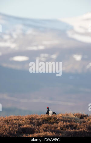 Black Grouse (Tetrao tetrix) male displaying in early morning sunshine, near Kinloch Rannoch, Scotland - Stock Photo