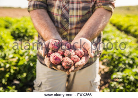 Mans mid section holding freshly harvested potatoes in hands - Stock Photo
