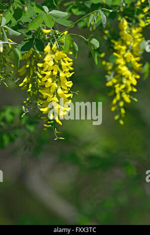 Some yellow hanging flowers with a blurred bokeh background stock laburnum anagyroides yellow flowers hanging in the air stock photo mightylinksfo