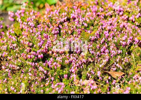 Erica carnea, the winter heath, winter flowering heather, spring heath or alpine heath, here seen with a multitude - Stock Photo