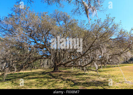 Huge southern live oak (Quercus virginiana) in Louisiana. - Stock Photo