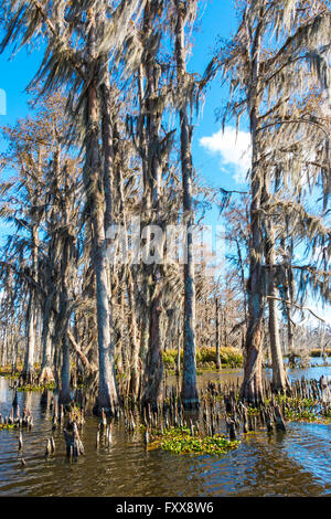 Southern Louisiana bald cypress forest in winter. (Taxodium distichum). - Stock Photo