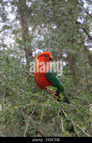 Single Australian king parrot Alisterus scapularis, surrounded by native Australian bush. - Stock Photo