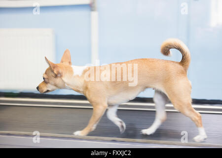 Dog running hydrotherapy treadmill in clinic - Stock Photo