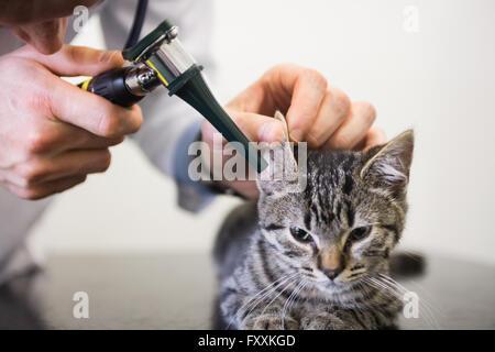 Veterinarian examining ear of kitten with otoscope - Stock Photo