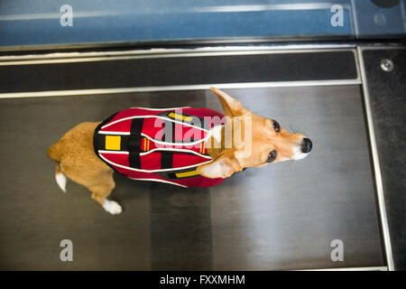 Dog on hydrotherapy treadmill in clinic - Stock Photo