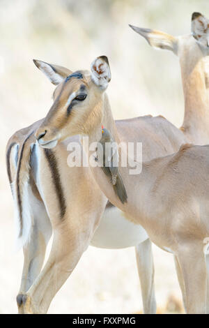 Red-billed oxpecker (Buphagus erythrorhyncus) on impala (Aepyceros melampus), Kruger National Park, South Africa - Stock Photo