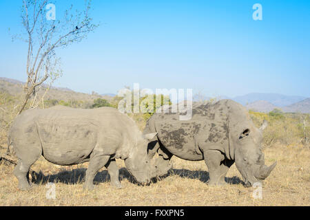 White rhino (Ceratotherium simum) pair in the southern part of the Kruger National Park, South Africa - Stock Photo