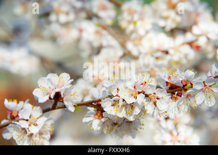 Blossoming  apricot tree branch in the spring - Stock Photo