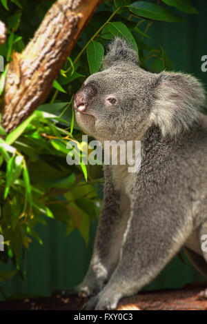 A Koala in a Eucalyptus tree in Queensland, Australia - Stock Photo